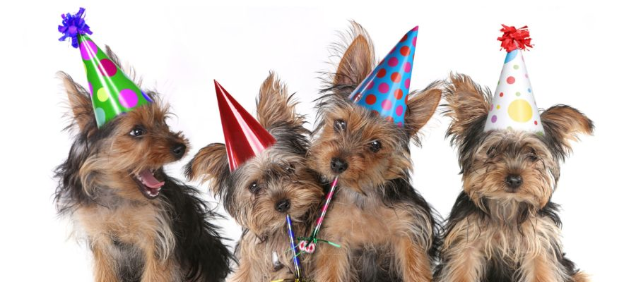 Yorkshire terriers celebrating