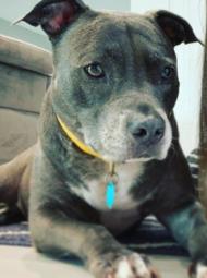 Sasha - pit bull rescue dog